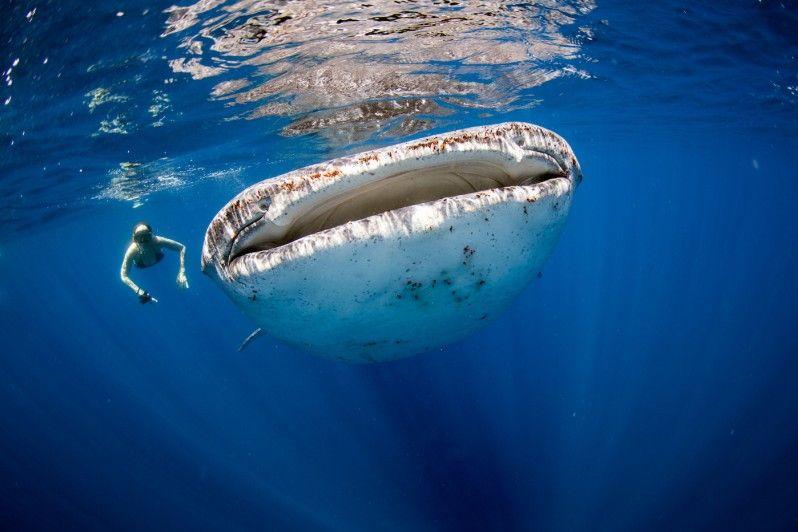 i migliori siti per immergersi con gli squali balena - lonely planet