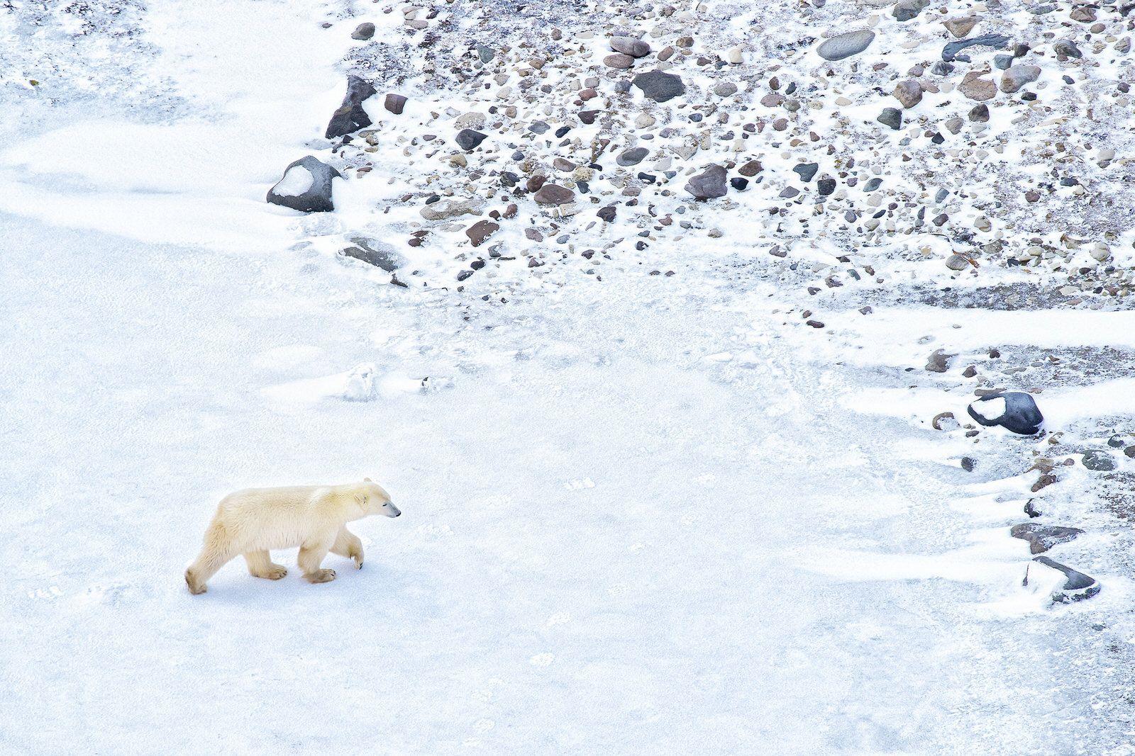 In Manitoba sulle tracce degli orsi polari