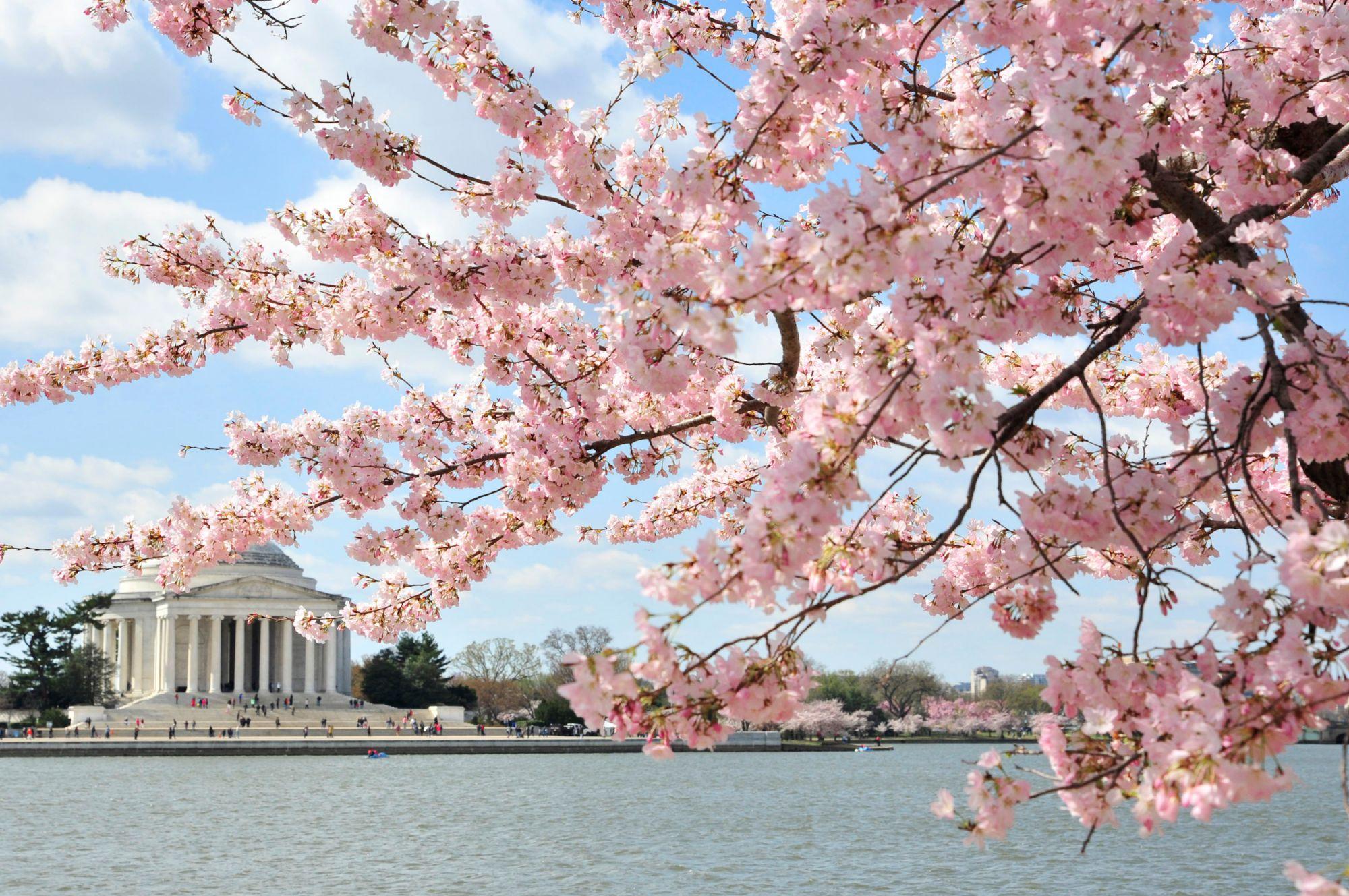 Ciliegio Fiori Bianchi O Rosa.Hanami Tutto L Anno La Fioritura Di Ciliegi In Giappone E Nel